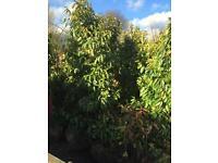 Hedge three