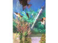 Angel fish barbs corys
