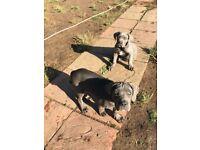 Cane corso puppies blue
