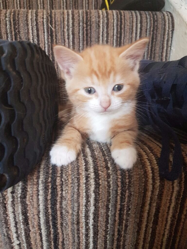 Kittens for sale 2 male ginger and white 1 female black and
