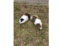 2 gorgeous, friendly young male Guinea pigs £20 FOR BOTH