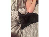 Black Beautiful kitten