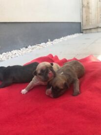 Frenchbulldog puppy's for sale, two female puppy's left kc registered