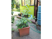 Big garden plant