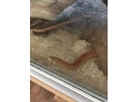 5.5foot Caramel male corn snake with Viv heat pad and furniture