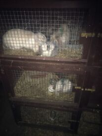 Free Rabbits to a good home