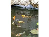 Butterfly koi for sale