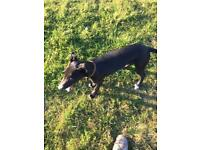 4 month old lurchers