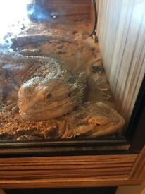 2 bearded dragons and full set up.