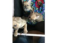CHUNKY KC registered French bulldog Pups ready now!
