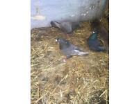 BIRDS/PIGEONS