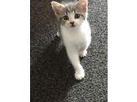 1male kitten grey tabby