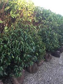 Portuguese laurel ( prunus lusitanica)