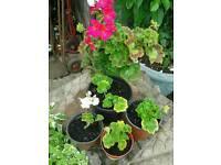 Gerinium plants