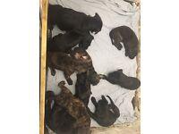 10 Rhodesian ridgeback cross cane corso Puppies