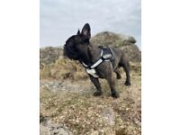 3 Year old French bulldog