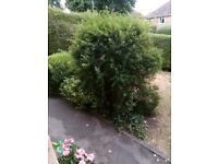 Free to dig out large flowering Bush and evergreen shrubs