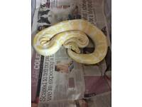 2012 Albino Royal python female