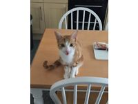 Missing Ginger & White Cat, 1 year old, Not been seen since 10/09/17. Going out of mind with worry.