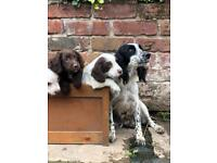 Sprocker Puppies
