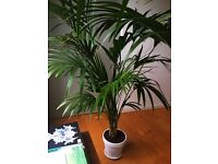Beautiful Lush Indoor Palm
