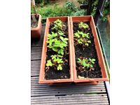 Plant for balcony or gardens (Strawberries)