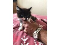 Fluffy black and white kitten male for sale