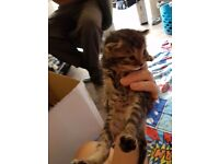Gorgeous Bengal x Kittens. Only 4 boys left!