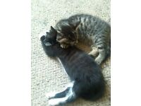 2 male kittens 9 weeks old