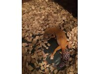 Young leopard gecko and small vivarium for sale