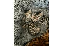 Bengal kittens - READY IN 3 WEEK