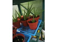 Aloe Vera plants for sale.