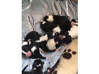 Border Collie Puppies 🐶 Beautiful