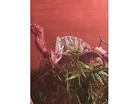 Female Yemen chameleon and set up