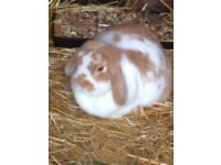 RABBIT FREE TO A LOVING HOME