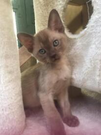 Beautiful registered GCCF Burmese kittens