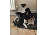 Rare Smooth Collie Pups for sale £495