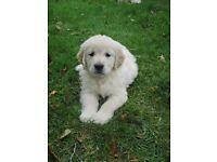 Lovely Golden Retriever Pups