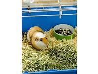 Lovely Guinea pig for sale