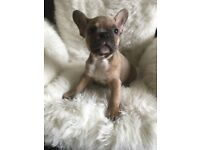 Quality frenchbulldog puppy's for sale