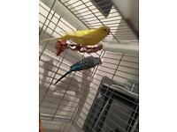 2 lovely budgies