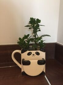 Cute panda pot indoor every green plant, easy to take care. not require low sunlight.