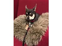 Lovely and smart Chihuahua need a warm home^_^