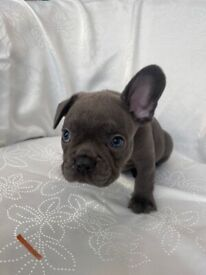 Beautiful Frenchies ready to be reserved