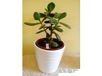 Jade Plant Money Tree
