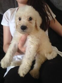 Labradoodle(F1b) puppies for sale