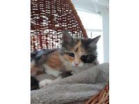 Maine Coon cross kittens