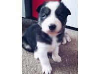 Last Female Husky Pup