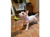 English Bull Terrier Male puppy