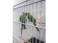 Indian Ringneck Parakeet for sale